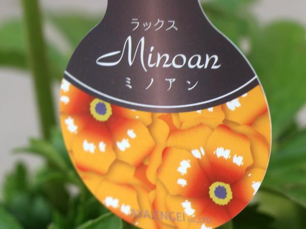 画像の現品1点限り☆ラナンキュラス・ラックス「ミノアン」【5号鉢】