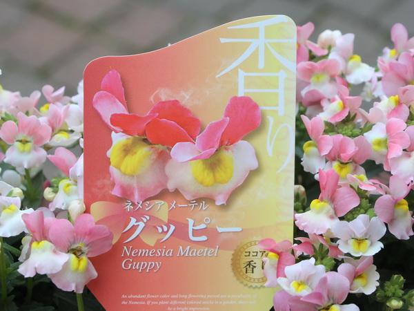 芳香宿根ネメシア・メーテル「グッピー」(3.5号ポット)