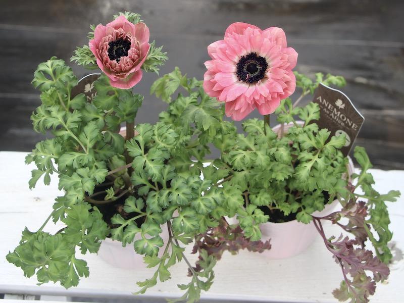 八重咲きアネモネ「アンアリス」5番(3.5号ポット)