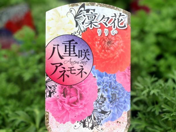 八重咲きアネモネ・凛々花(りりか)☆お買い得☆お任せ3株セット(3.5号ポット)