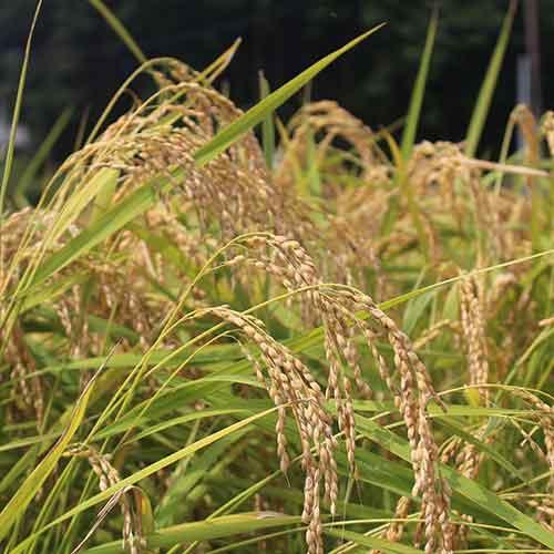 【向平13】《シルバー》実りの百年米 1袋30kg入り玄米