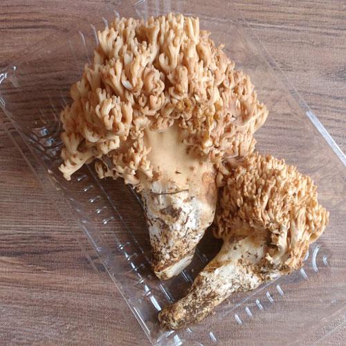 天然 ほうき茸 (ホウキタケ)・白