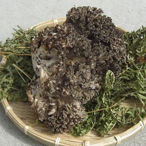 天然 舞茸 (マイタケ)