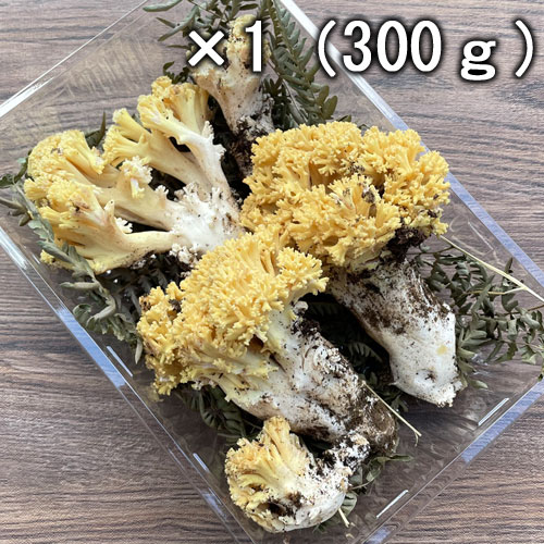 天然 ほうき茸 (ホウキタケ)・黄