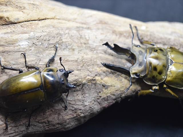 【新成虫】ババオウゴンオニクワガタ71mmペア