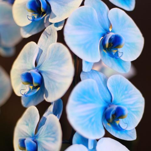 青い胡蝶蘭(2本立) ※TELお問い合わせ下さい