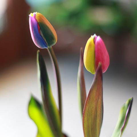 レインボーチューリップ20本とキラキラかすみ草の花束