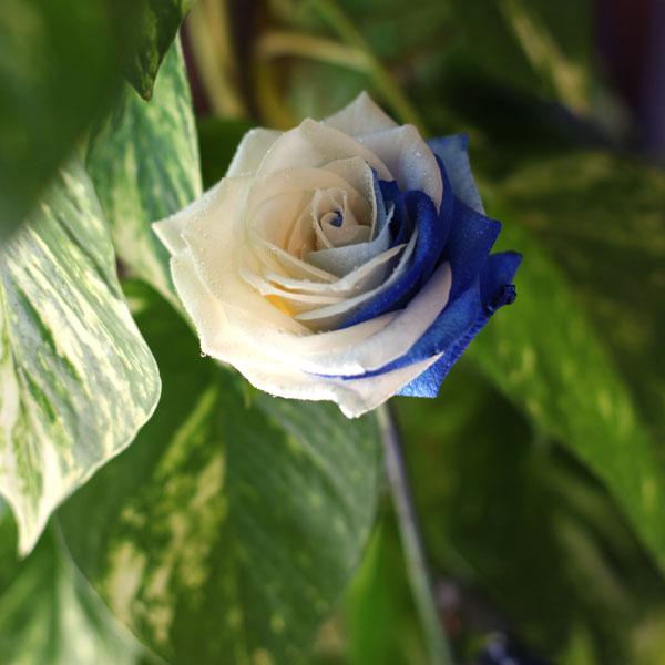ブルーアンドホワイトローズ 10本の花束