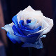 ブルーアンドホワイトローズ 100本の花束