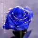 キラキラ青いバラ108本の花束