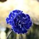 青いカーネーション10本とキラキラかすみ草の花束