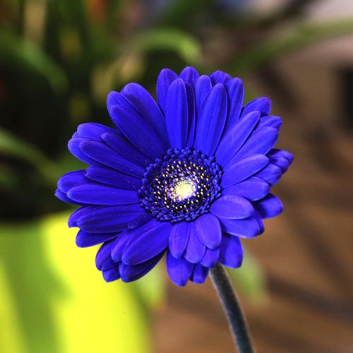 青いガーベラ10本とキラキラかすみ草の花束