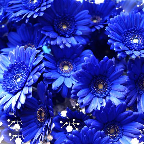 青いガーベラ100本とキラキラかすみ草の花束