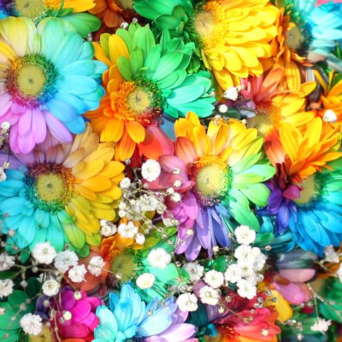 レインボーガーベラ50本の花束(キラキラかすみ草付き)