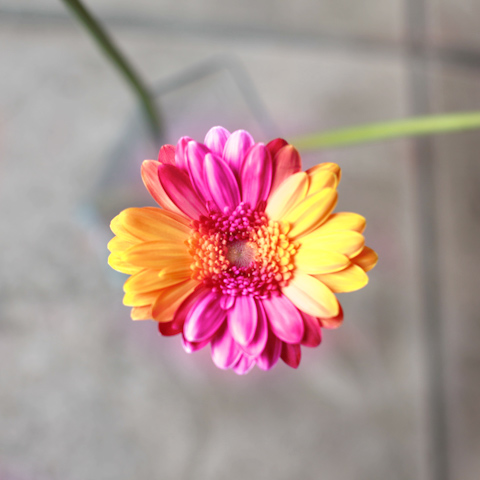 バイカラーガーベラ(ピンク×オレンジ)50本とキラキラかすみ草の花束