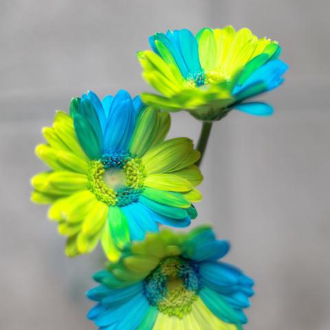 バイカラーガーベラ(グリーン×ブルー)20本とキラキラかすみ草の花束