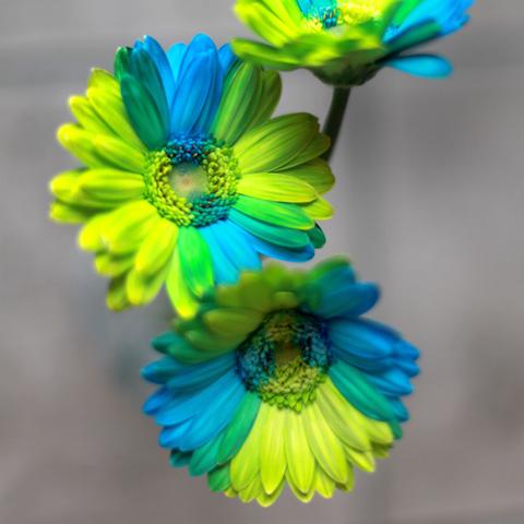 バイカラーガーベラ(グリーン×ブルー)100本とキラキラかすみ草の花束