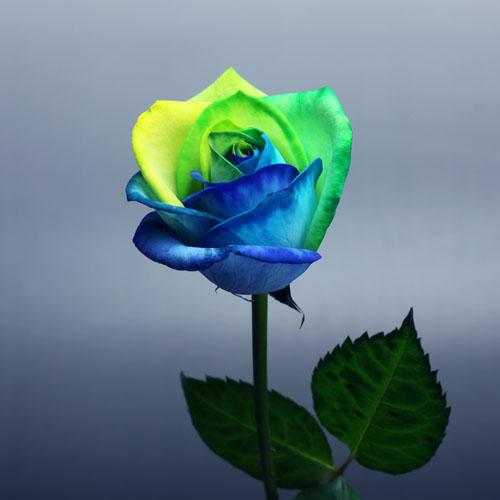 レインボーローズ オーシャン100本の花束