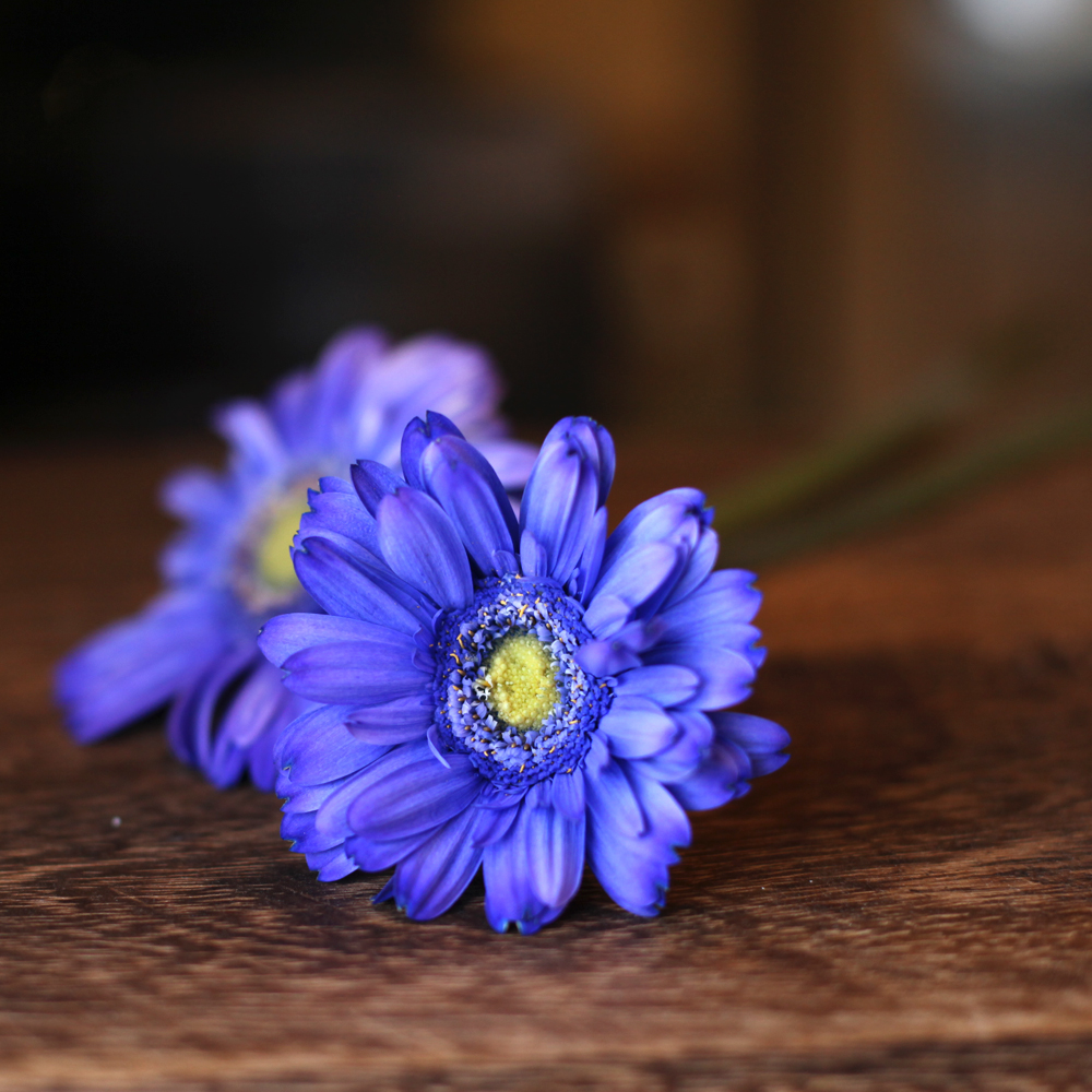 紫色のガーベラ20本とキラキラかすみ草の花束