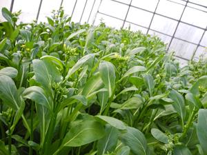 小林種苗 ナバナ種子 満天やさい アスパラッチェ 【種子有効期限2021年5月末まで】