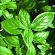 小林種苗 バジル種子 カンピオーネ