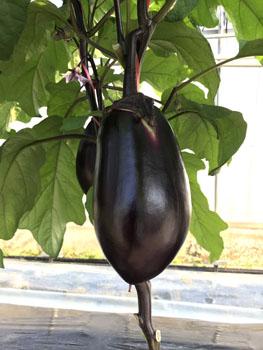 小林種苗 ナス種子 究極の茄子