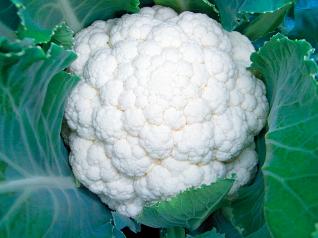 武蔵野種苗園 カリフラワー種子 ホワイトパラソル 【春種予約】