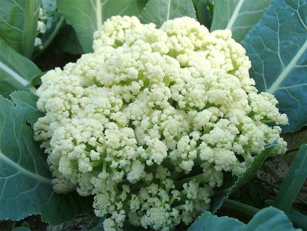 小林種苗 カリフラワー種子 ドルチェオーレ60 【種子有効期限2021年5月末まで】