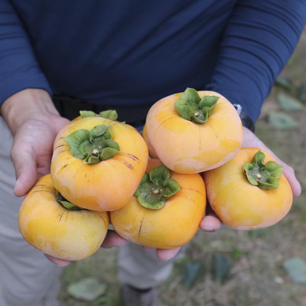 大原さんの富有柿7.5kg