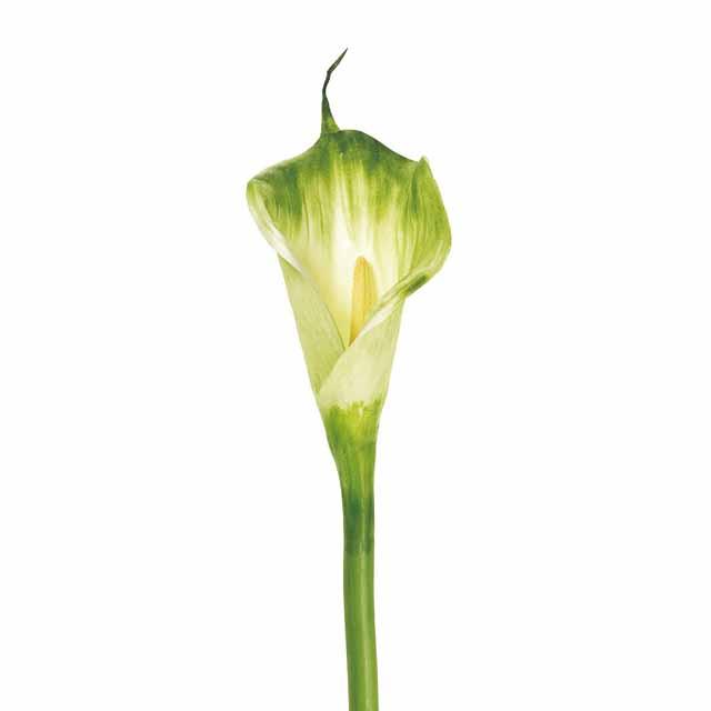 ヴィンセントカラー M グリーン(東京堂/FW099052-024, FW99052)【アーティフィシャルフラワー(高級造花)】