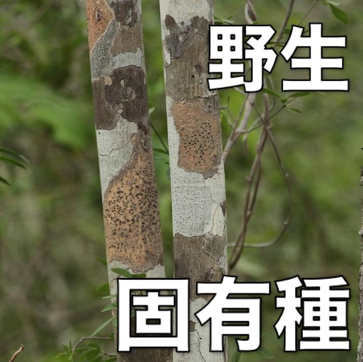 【カタフレイ】(カチャファイ)100%天然精油 10mL  (固有植物・野生)