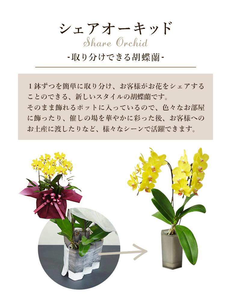 【産地直送】椎名洋ラン園 シェアオーキッド|5株寄せ
