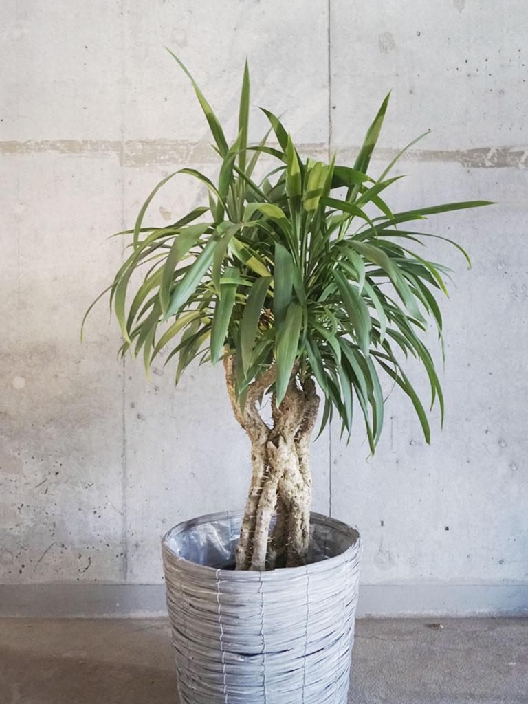 観葉植物/ドラセナ系 【Mサイズ】