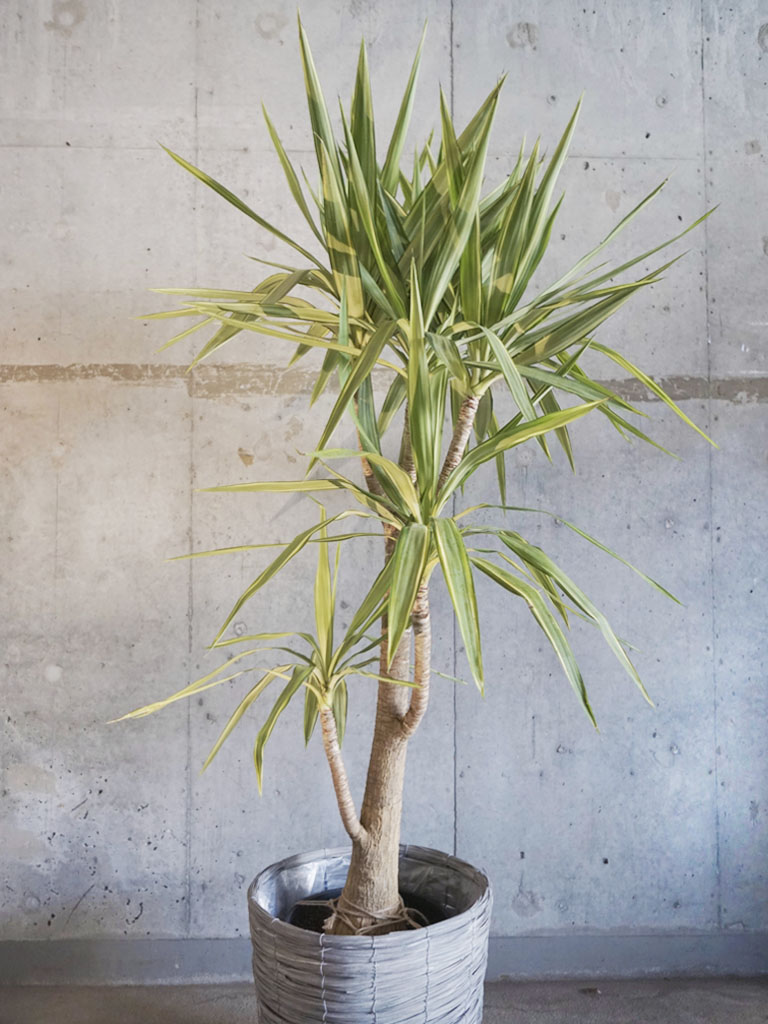 観葉植物/ドラセナ系 【Lサイズ】