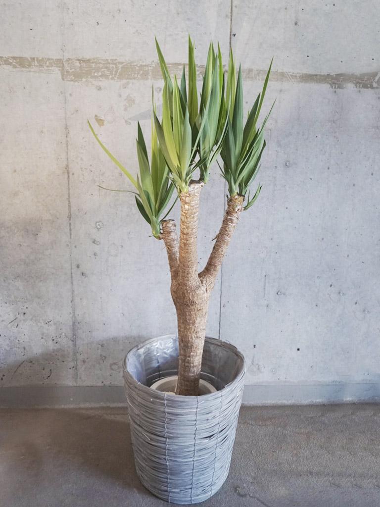 観葉植物/ドラセナ系 【Sサイズ】