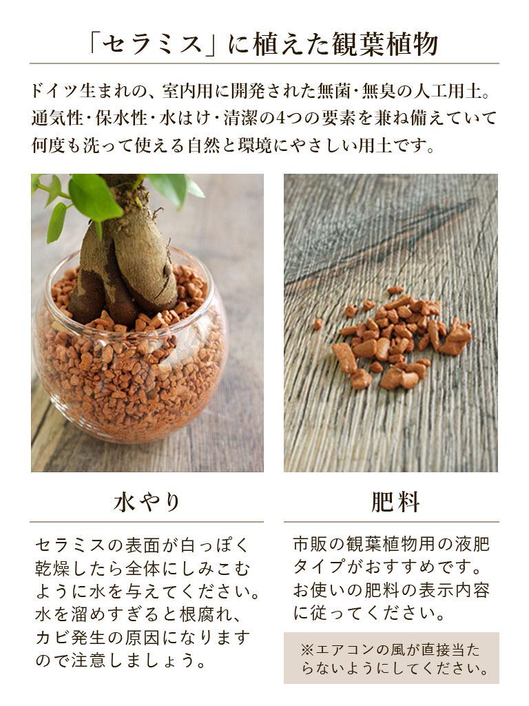 【産地直送】パキラ -セラミス植え- 送料込み*