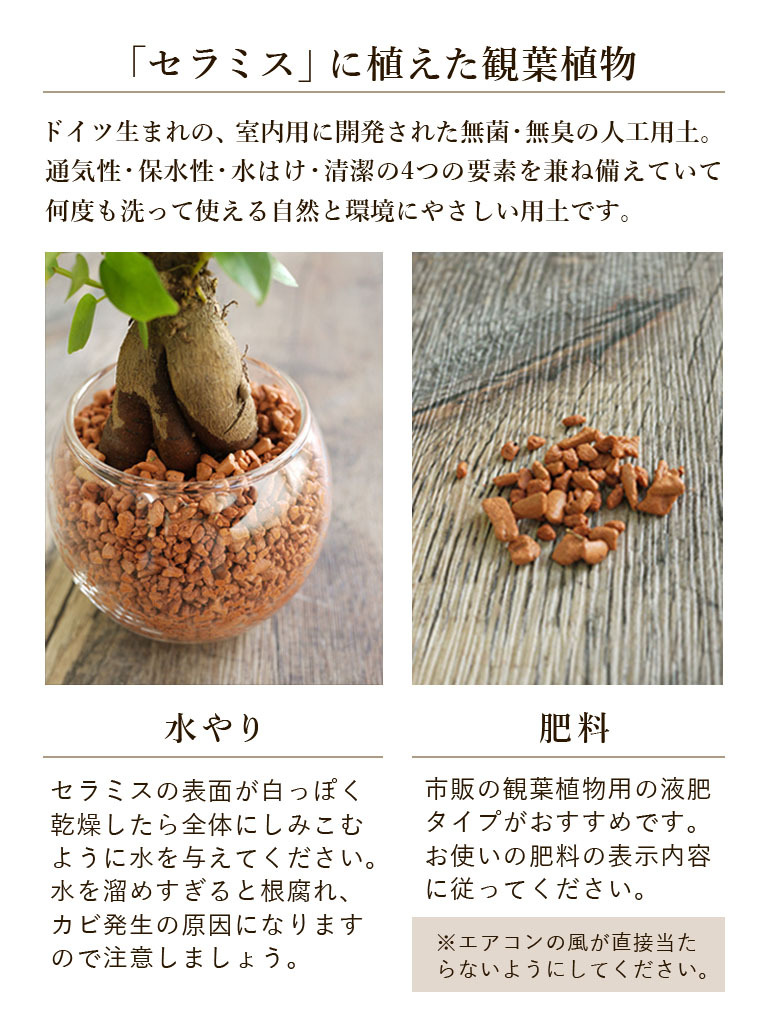 【産地直送】パキラ -セラミス植え-|皿付き陶器|送料込み*
