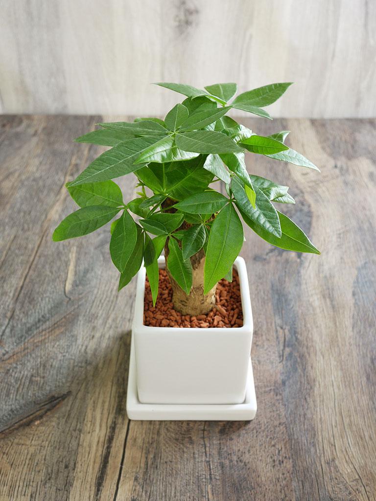 【産地直送】パキラ -セラミス植え-|皿付き陶器