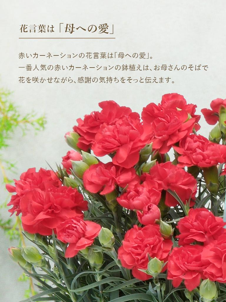 【母の日オンライン限定|5/8・5/9着商品】カーネーション鉢 [赤]|数量限定
