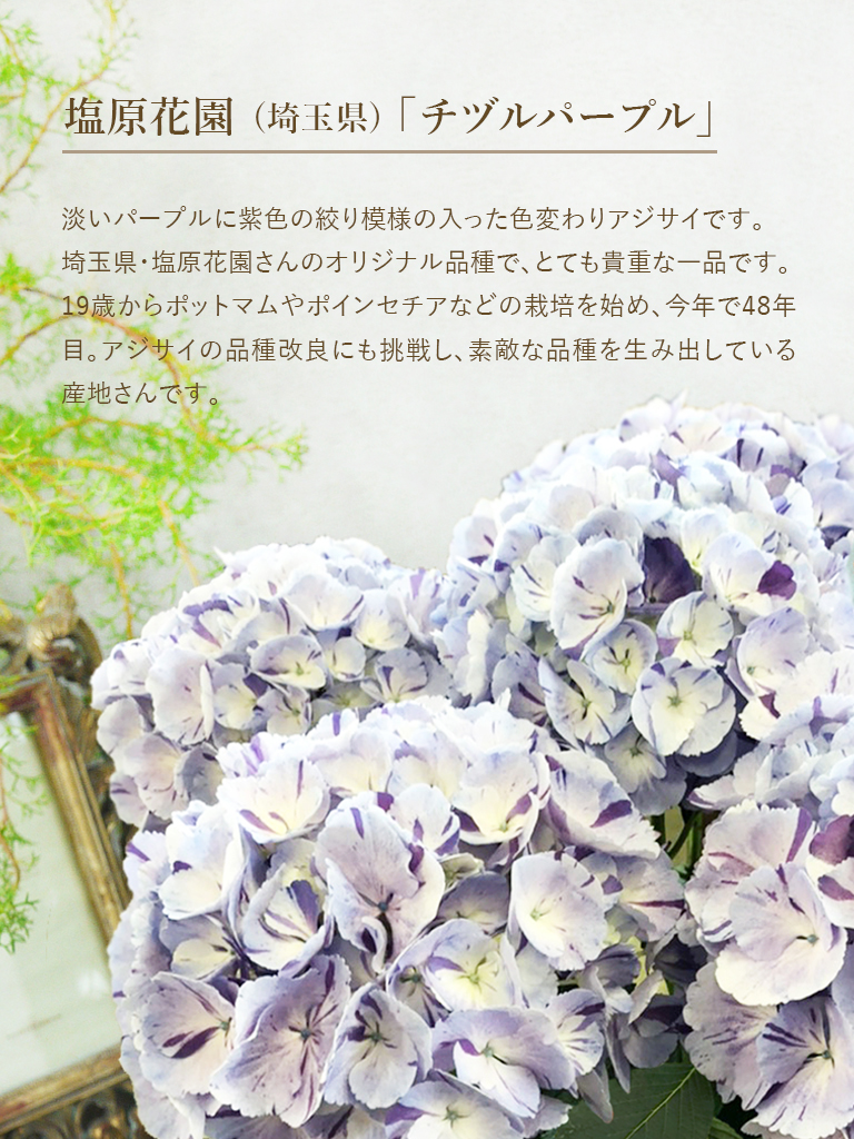 【母の日オンライン限定|5/8・5/9着商品】アジサイ鉢 -チヅルパープル- [淡い紫系]|数量限定