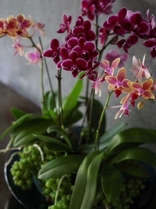 瑞雲 zuiun ミディファレノに季節の実物や小物を添えて Midi Phalaenopsis [Group planting] #002