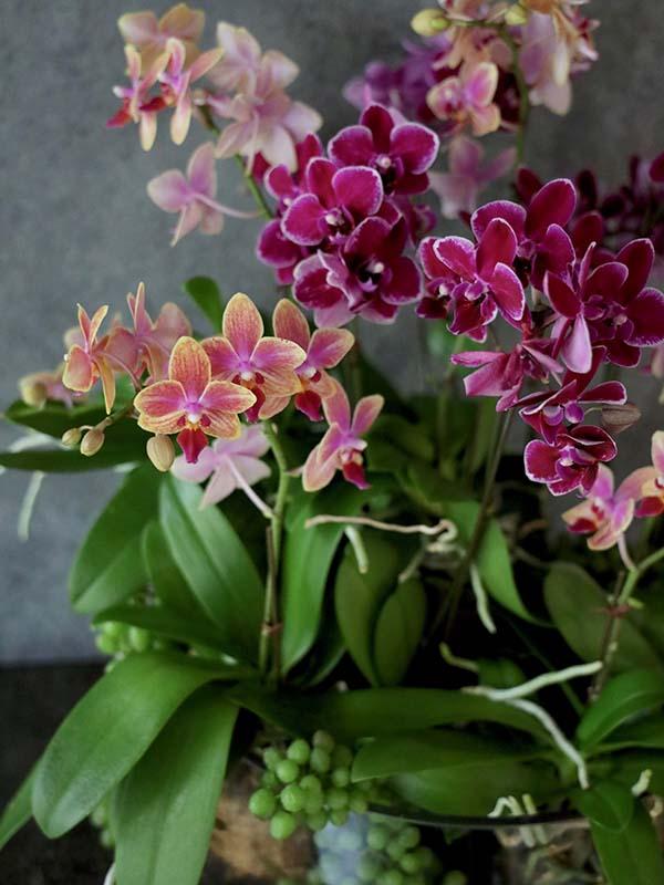 鵲瑞 jakuzui ミディファレノを季節の実物や小物とともに[寄せ植え] #002