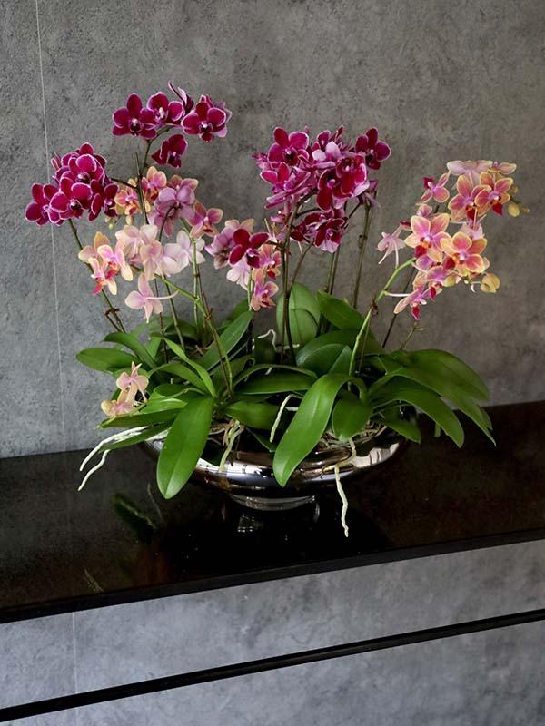 瑞花 zuika 上質なシルバーの器とミディファレノ Midi Phalaenopsis [Group planting] #002