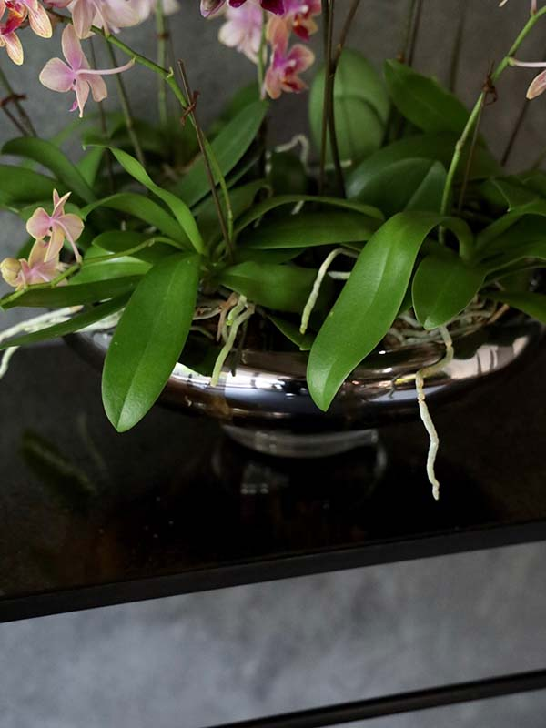 瑞花 zuika 上質なシルバーの器とミディファレノ[寄せ植え] #002