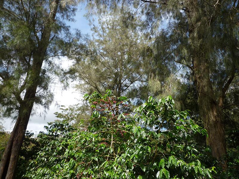 パプアニューギニア・天空の森・修道院のコーヒー ハセン農園 Washed