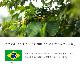 【メール便送料無料】焙煎工房本池 ブラジル アルトアレグレ農園 パルプドナチュラル(中煎り)100g