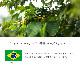 【送料無料】焙煎工房本池 ブラジル アルトアレグレ農園 パルプドナチュラル(中煎り)500g
