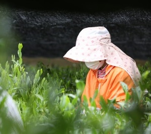 河越抹茶ラテ(1パック)