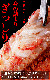 毛ガニ 毛蟹 800g前後×2尾 超特大(けがに kegani カニ味噌 かにカニ 蟹 かに カニ)(ボイル加熱済み)(訳あり 訳有 わけあり)