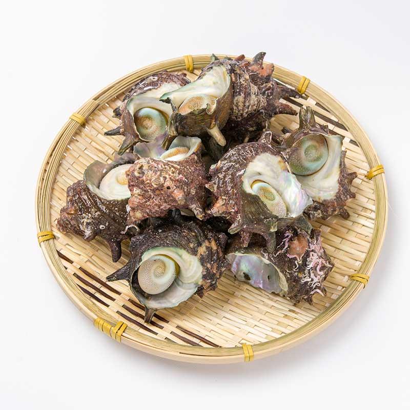 若狭湾産サザエ1kg(8〜15個)
